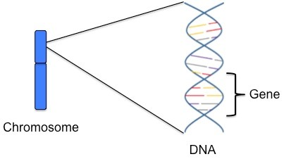 genes carry the information needed to make proteins  our cells need protein  for their structure, survival and to work correctly  we each have  approximately